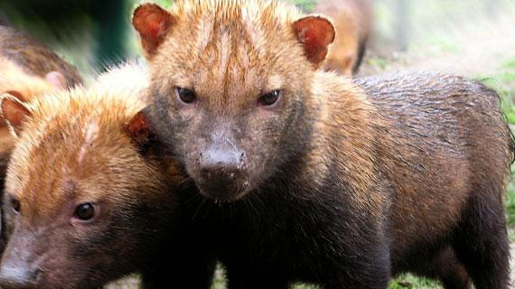 Zwei Jungtiere des seltenen südamerikanischen Waldhundes, ca. 6 Monate alt. Bild: rbb/BR/Andrea Rüthlein