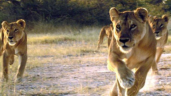 Löwinnen bei der Jagd. Bild: PHOENIX/ZDF/ARTE