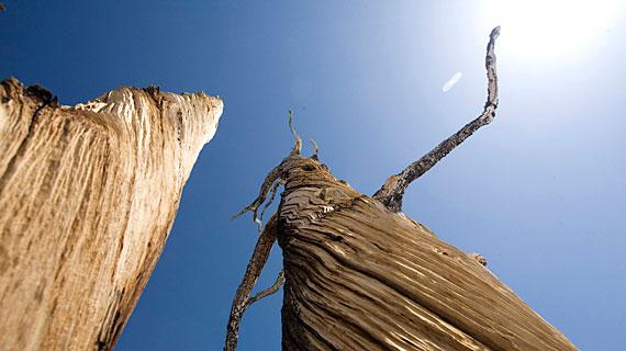 Bristlecone Pine forest, White Mountains, California. Bild: PHOENIX/ZDF/BBC/Jonathan Renouf