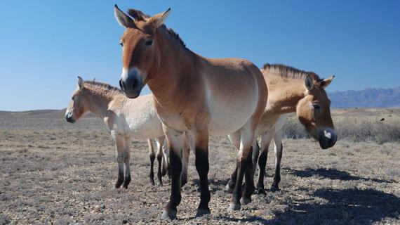 Ausgewilderte Przewalski-Pferde im Altyn-Emel-Nationalpark in Kasachstan Bild: BR / © BR
