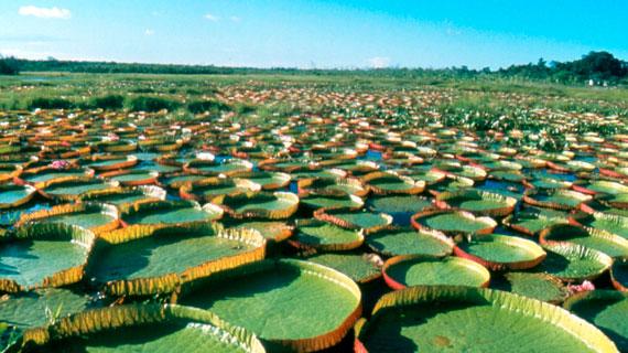 Die kreisrunden Blätter der Viktoria-Seerosen können einen Durchmesser von mehreren Metern erreichen und Gewichte bis zu 50 Kilogramm tragen. Benannt ist die Wasserpflanze nach der englischen Königin Victoria (1819 - 1901). Bild: PHOENIX/ZDF/Satoshi Okabe