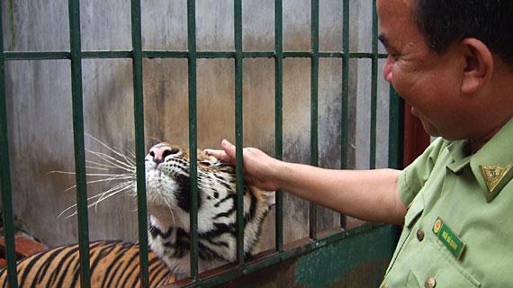 Der Handel mit Wildtieren ist ein lukratives Geschäft. Eine Tierauffangstation bei Hanoi zeigt, welche Tiere aus und durch Vietnam geschmuggelt werden. Dieses Tigermännchen hat sich so an den Menschen gewöhnt, dass er nicht mehr ausgewildert werden kann.  Bild: ARTE / © Medienkontor FFP/Therese Engels