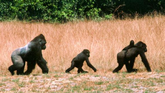 Gabun, Westafrika: Der 160 Kilo schwere Mabeke, das Weibchen Kessala, ihre Tochter Kim (4 Jahre) und Sohn Kongo (5 Monate) sind Westliche Flachlandgorillas. Den größten Teil ihres Lebens verbrachten sie im