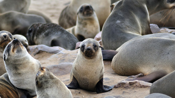 Seelöwen am Strand Bild: ZDF / © Evie Pace