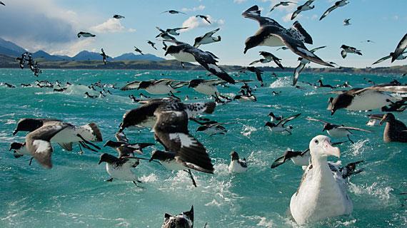 Sturmvögel und Albatrosse. Bild: WDR/BBC