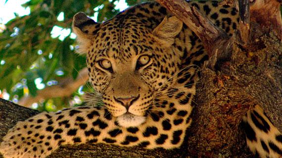 Leopard auf einem Ast. Bild: PHOENIX/ZDF/ARTE