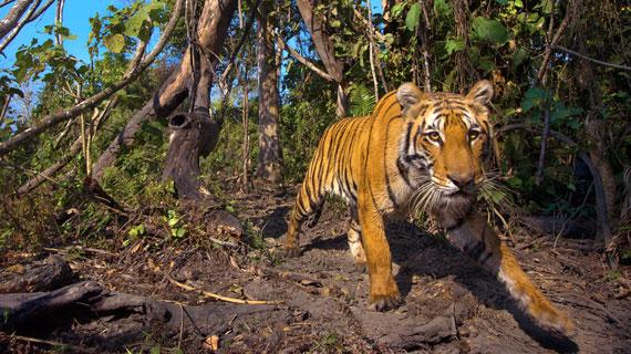 Das Bild eines Tigers in Bhutan war nur Dank einer Kamerafalle möglich. Bild: NDR/Henry Mix/NDR Naturfilm