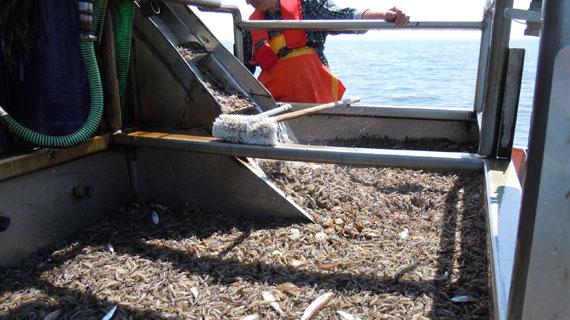 """W wie Wissen"""" hat Krabbenfischer begleitet und ergründet, warum sie trotz """"idealer"""" Fangbedingungen und endlich praxisreifer Pulmaschinen kaum noch Geld verdienen. Bild: SWR/Ralf Hoogestraat"""