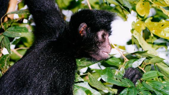 Schwarze Klammeraffen leben hoch in den Bäumen und sind nur selten zu sehen. Die friedlichen Tiere haben keine Feinde - außer dem Menschen. Teils als Nahrung, teils zum Verkauf als Haustiere werden sie noch immer gejagt. Bild: NDR/R. Anzeneder